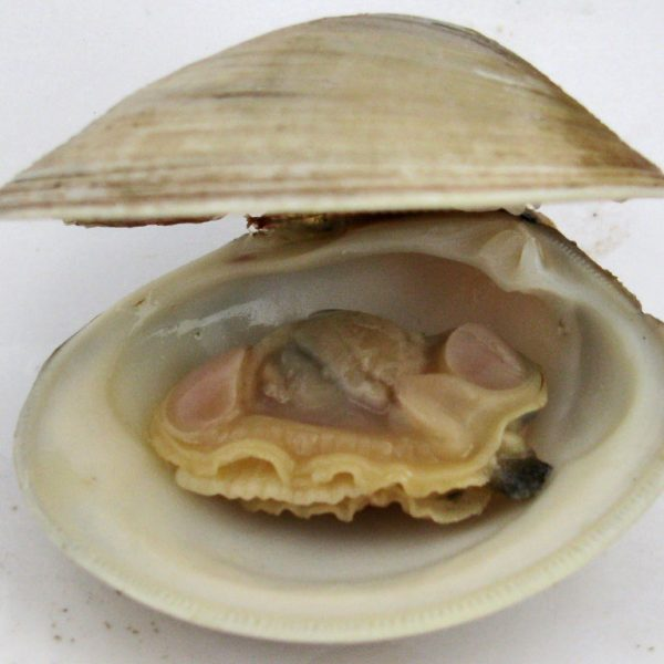 A Littleneck Clam
