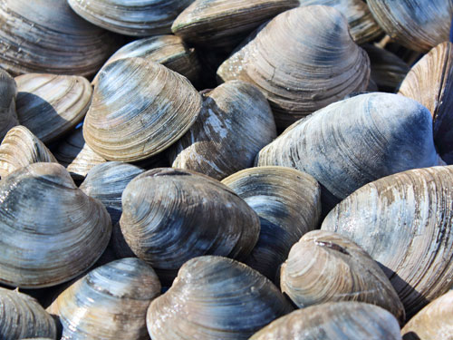 Wild Caught Quahog Clams