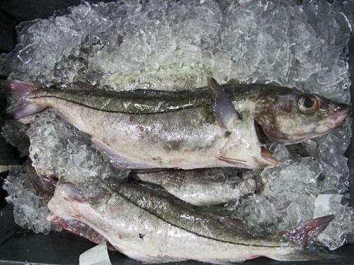 Atlantic Haddock