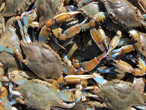 Chesapeake Bay Blue Crabs (live)