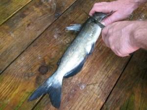 catfish-head-cut