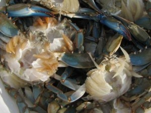cleaned-blue-crabs