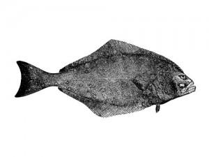 pacific halibut illustration