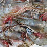 fresh heads on shrimp